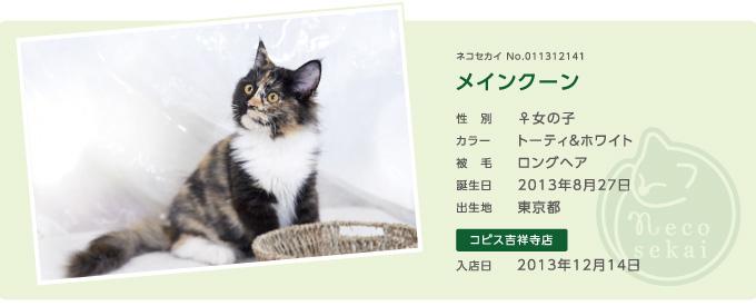 ネコセカイ子猫メインクーン