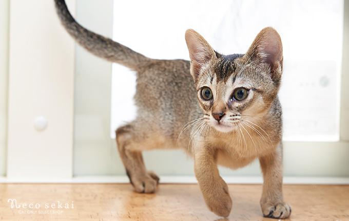 子猫アビシニアン