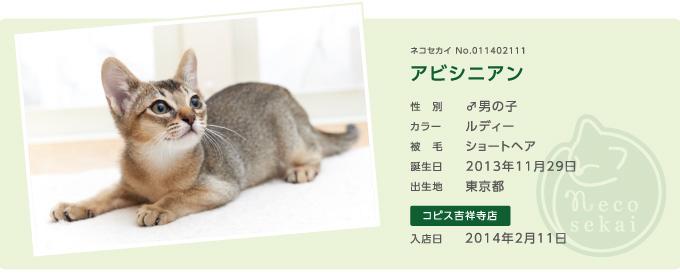 ネコセカイ子猫アビシニアン