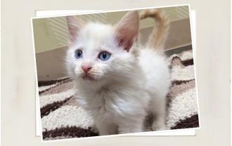 子猫ラグドール