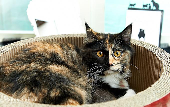 子猫・メインクーン