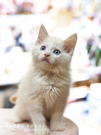 子猫・ラグドール
