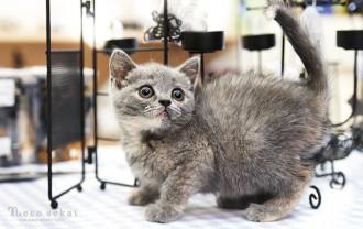 子猫・ブリティッシュショートヘア
