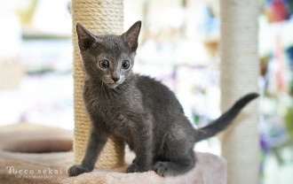 子猫・ロシアンブルー