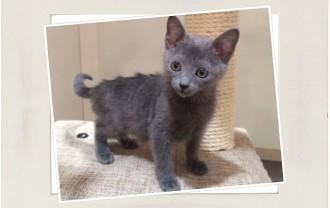 子猫ロシアンブルー