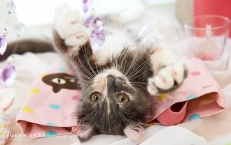 子猫・アメリカンカール