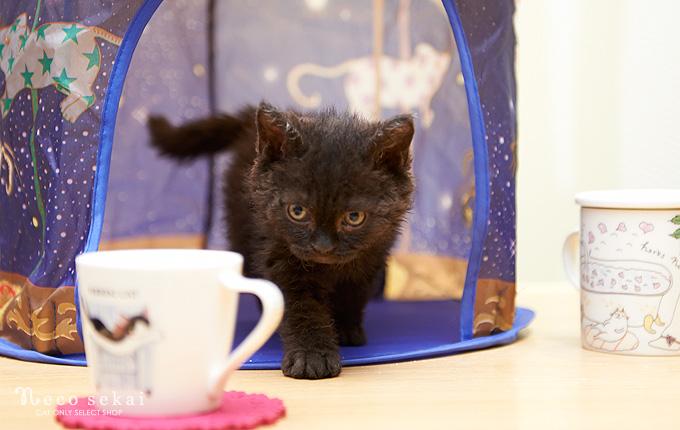 子猫・セルカークレックス
