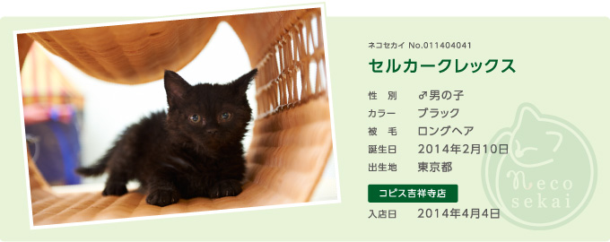 ネコセカイ子猫・セルカークレックス