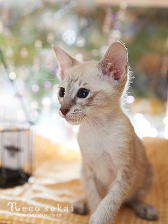 子猫・シャム