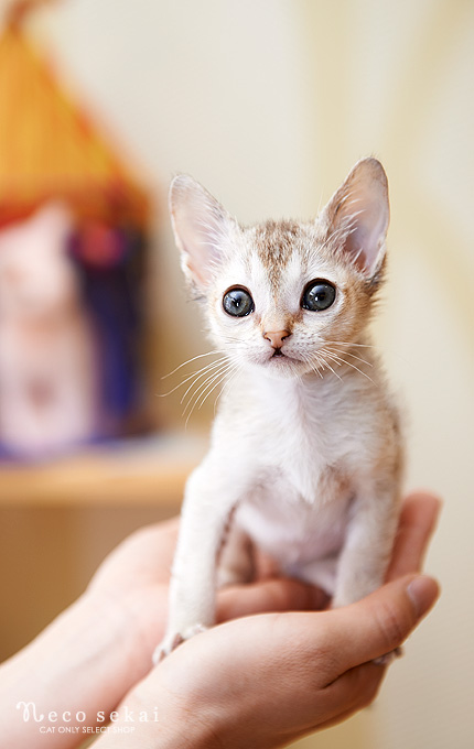 子猫・シンガプーラ