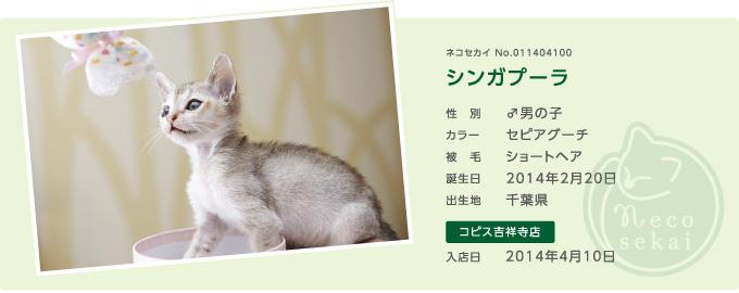 ネコセカイ子猫・シンガプーラ