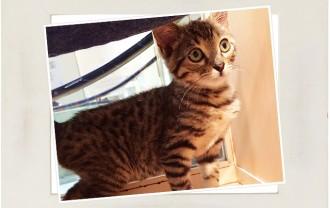 子猫・ベンガル