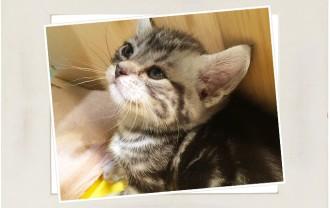 子猫・アメリカンショートヘア