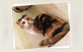 子猫スコティッシュホールド