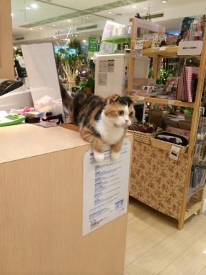 看板猫♡スコティッシュ