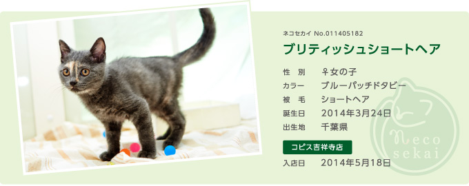 ネコセカイ子猫・ブリティッシュショートヘア