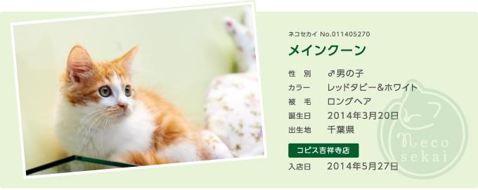 ネコセカイ子猫・メインクーン