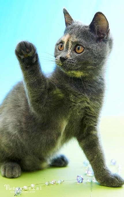 子猫ブリティッシュショートヘア