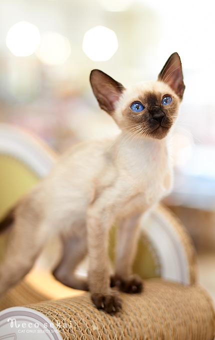 子猫シャム