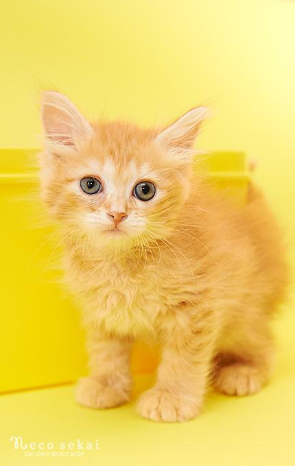 子猫サイベリアン