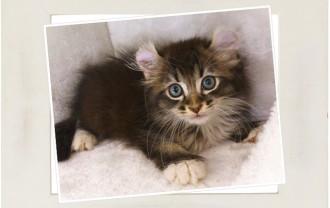 子猫アメリカンカール