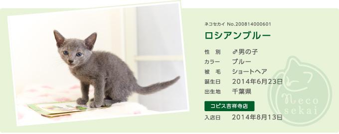 ネコセカイ子猫・ロシアンブルー