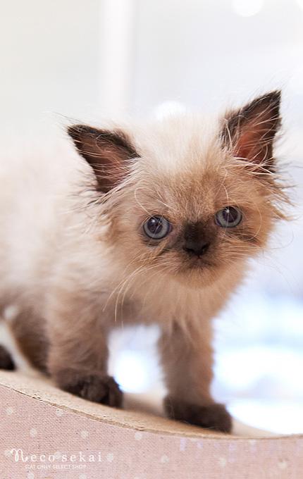 子猫ペルシャ(ヒマラヤン)