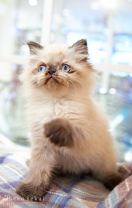 子猫ヒマラヤン