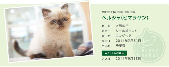 ネコセカイ子猫・ヒマラヤン