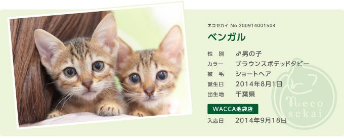 ネコセカイ子猫・ベンガル