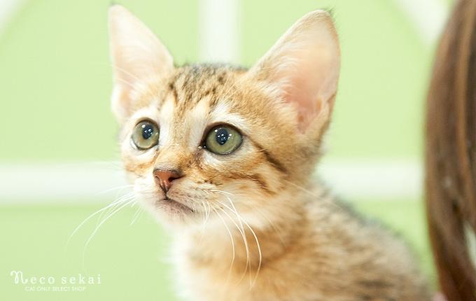 子猫ベンガル