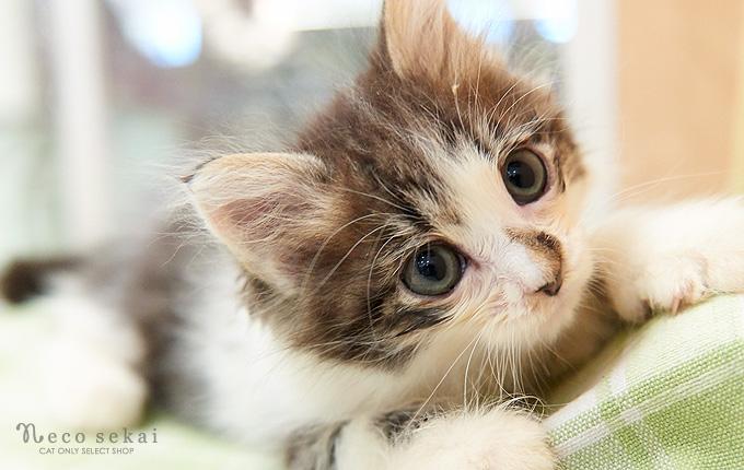 子猫ラガマフィン