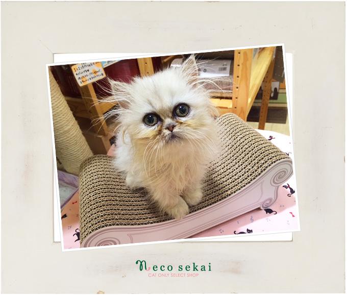 子猫ペルシャ