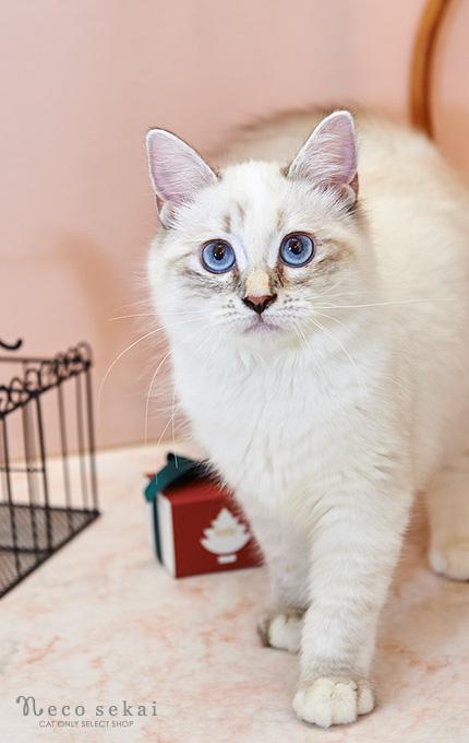 子猫バーマン