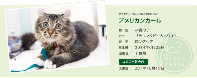 ネコセカイ子猫・アメリカンカール