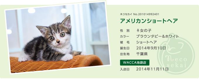 ネコセカイ子猫・アメリカンショートヘア