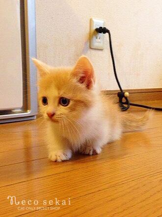 子猫マンチカン