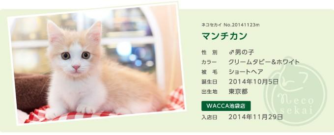 ネコセカイ子猫・マンチカン
