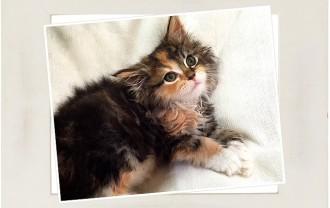 子猫メインクーン