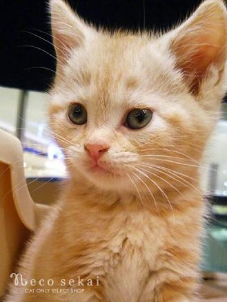 子猫アメリカンショートヘア