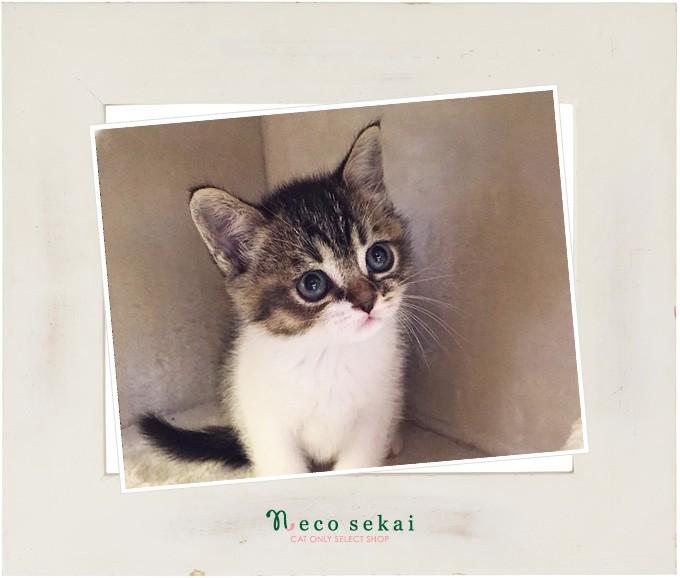 子猫エキゾチックショートヘア