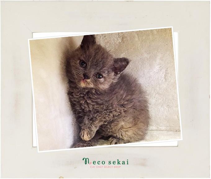 子猫セルカークレックス