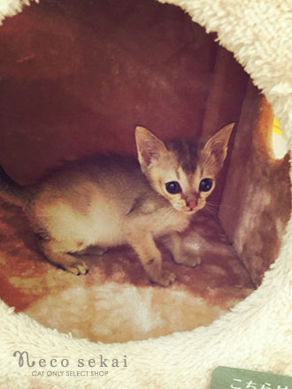 子猫シンガプーラ