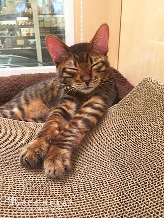 子猫トイガー