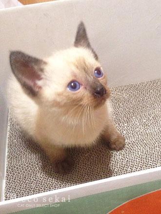 子猫トンキニーズ