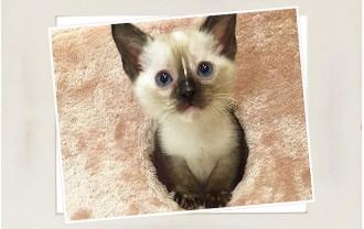 子猫オリエンタルズ