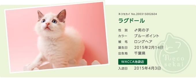 ネコセカイ子猫・ラグドール