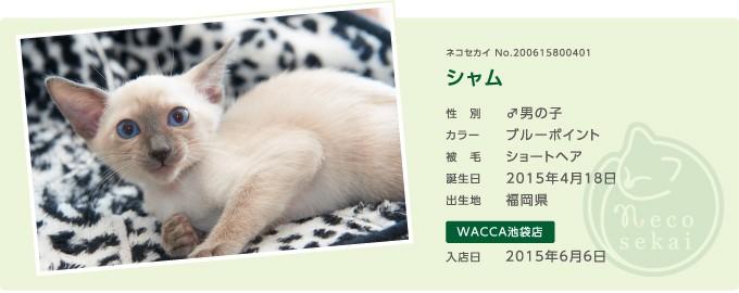 ネコセカイ子猫・シャム